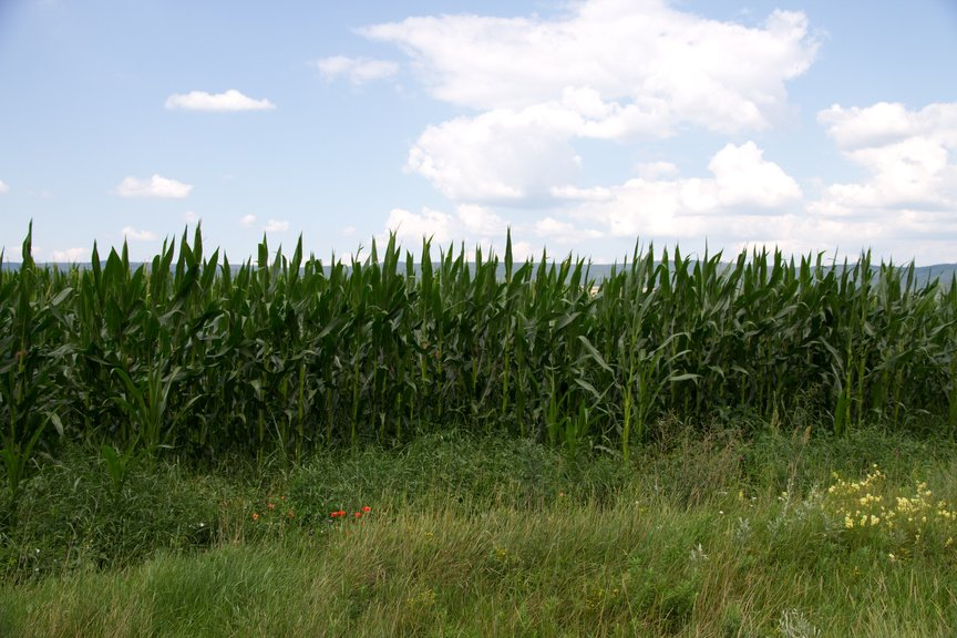 Cornfield in countryside