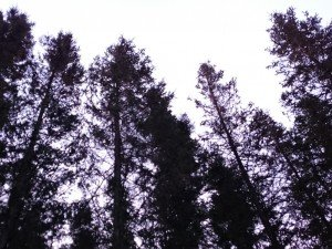 Norsonant - Windy Forest